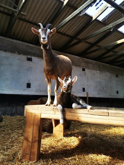 Unsere Ziege Mathilde mit ihrem Nachwuch