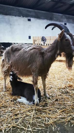 Unsere Ziege Sonni mit ihrem riesigen Lamm, dasss sich beim Trinken hinlegen muss
