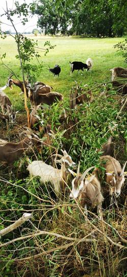 Unsere Ziegenherde beim Entbuschen