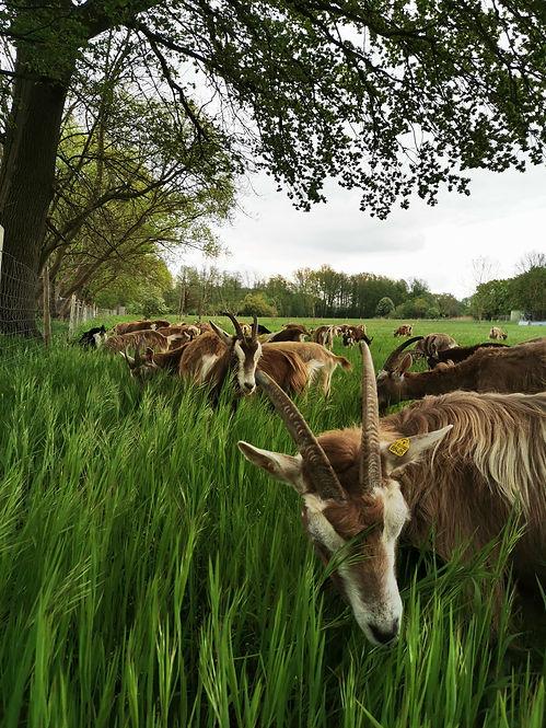 Wendland Ziege | Bio | Clenze | Niedersachsen
