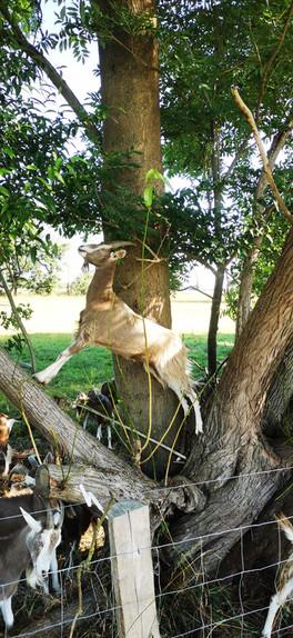 Unsere Ziege Mali versucht die besten Blätter zu erwischen