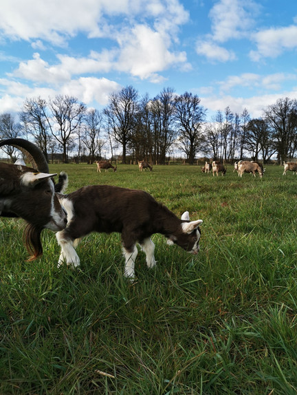 Unsere Ziege Caro mit ihrem Kitz am Weiden