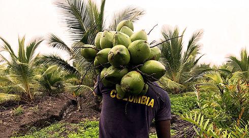 Coco Colombia Cultivos