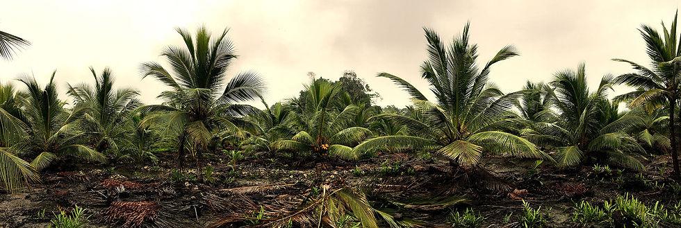 Cultivos Coco Colombia