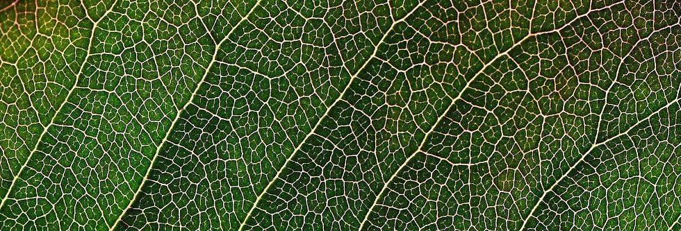 Bio Celulosa Bacteriana de Coco