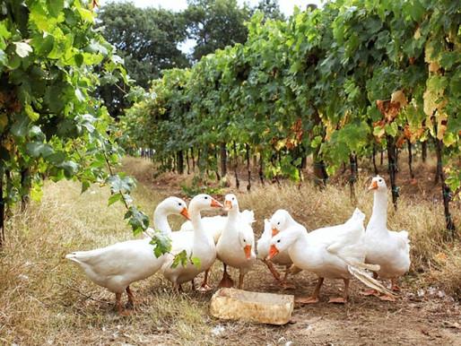 Самые своеобразные методы производства вин часть I