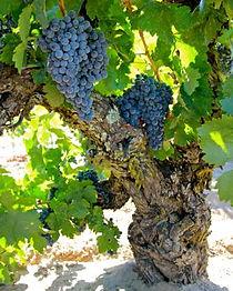 old vine priorat.jpg