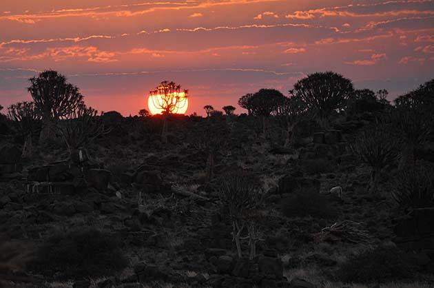 L'aloe dichotoma, Namibie