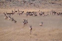 Antilopes, Namibie