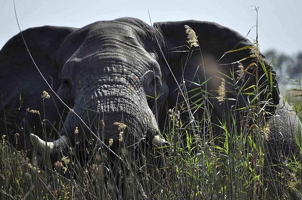 Elephant_Botswana.jpg