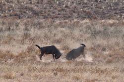 Gnou, Namibie
