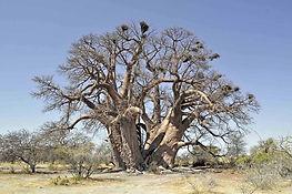Baobab_Botswana.jpg