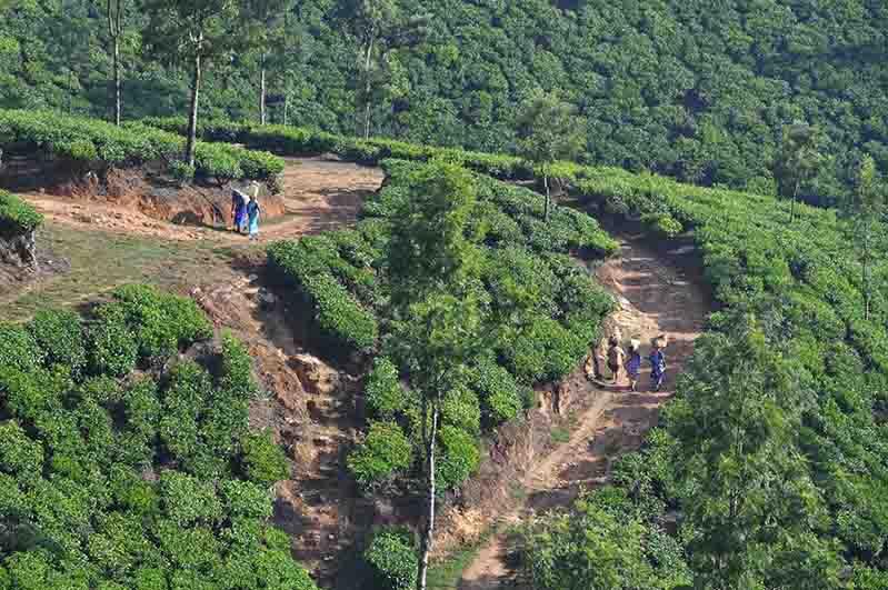 Plantation de thé, Munnar, Inde