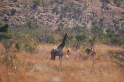 Pilanesberg, Afrique du Sud