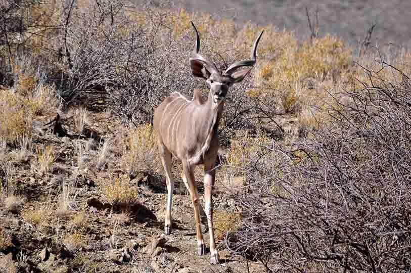 Grand koudou, Namibie