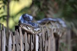 Python birman, Birmanie
