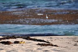 Crabe fantôme, Oman
