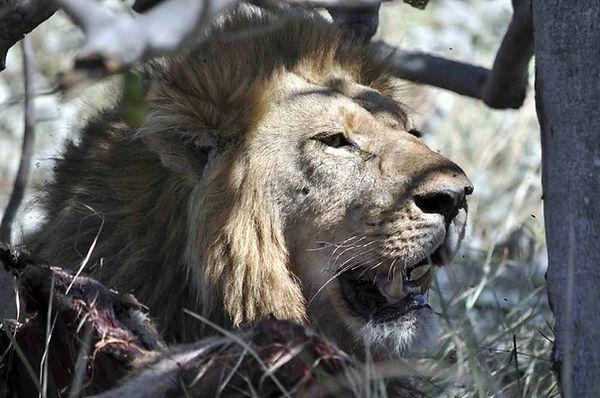 Lion_Botswana.jpg