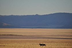 Gemsboks, Plaine de Namibie