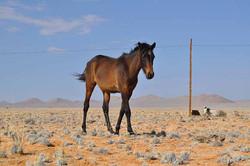 Cheval du Namib, Namibie