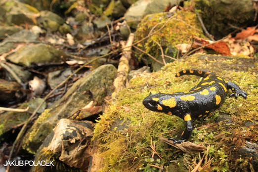 Fire salamanders on Sázava