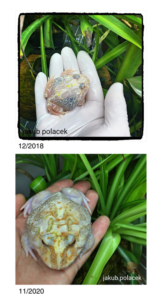 White Albino horned frog - progress of grow