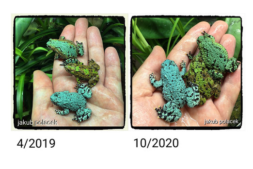 Three same frogs during the time