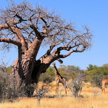 Baobab Preservation