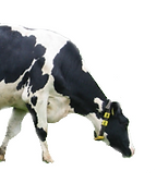 Cow_3.png