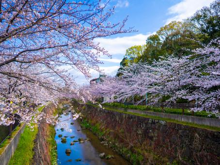 山崎川新型コロナウィルスにも負けず桜満開!