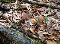 champignons ,cèpes