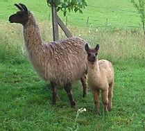 Visitez un élevage de lamas.
