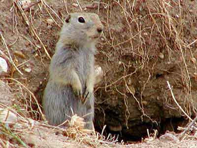 richardsons-ground-squirrel.jpg