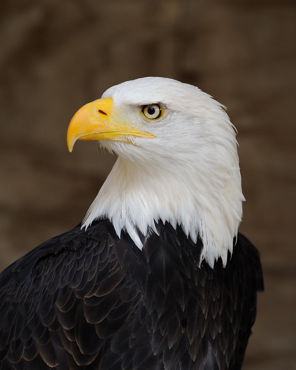 Bald_Eagle_Portrait.jpg