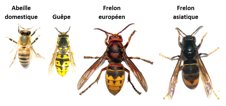 abeille guêpe frelon européen frelon asiatique