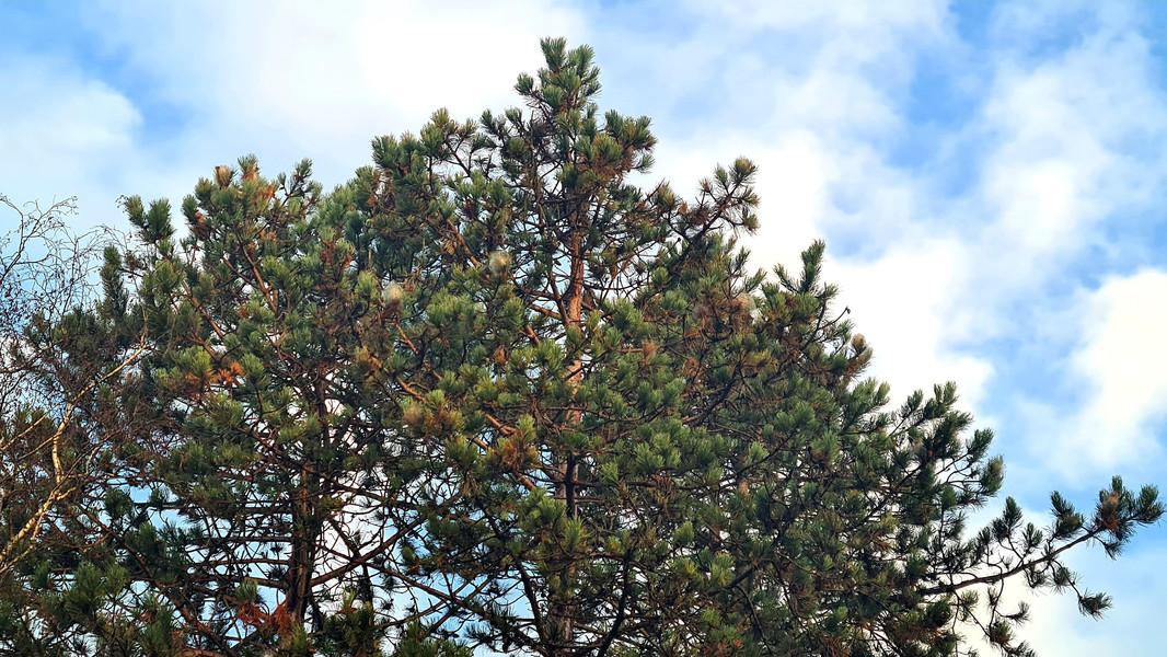 cocons chenilles processionnaires du pin