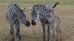zebra fam.jpg