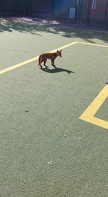 Fox Visits The Yard