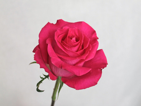 Il viaggio del fiore: Febbraio e la Rosa