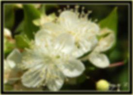 Fleurs-de-Myrte-vue-de-plus-pres.jpg