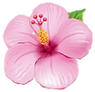 hibiscus%20pink_edited.png