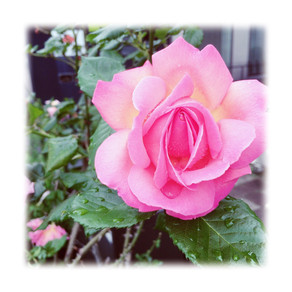 Roses at home
