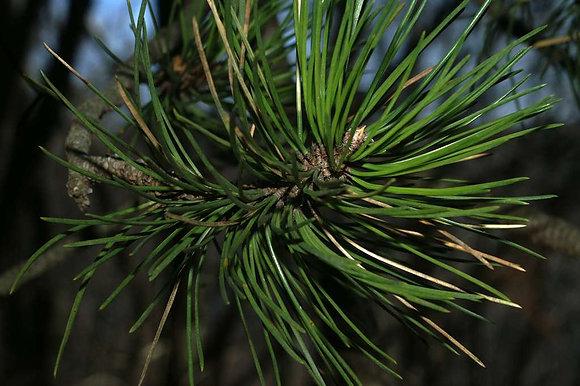Hydrolat Pin noir biologique (Pinus nigra) Eau florale Expectorant Douleurs dentaires Fébrifuge Tonique circulatoire
