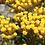hydrolat hélichryse bio eau florale helichrysum italicum biologique