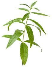 huile essentielle verveine citronnée Aloysia citrodor biologique artisanale huile essentielle française bio qualité intégrale