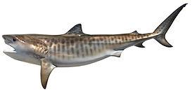 135_inch_Tiger_Shark-p-234.jpg