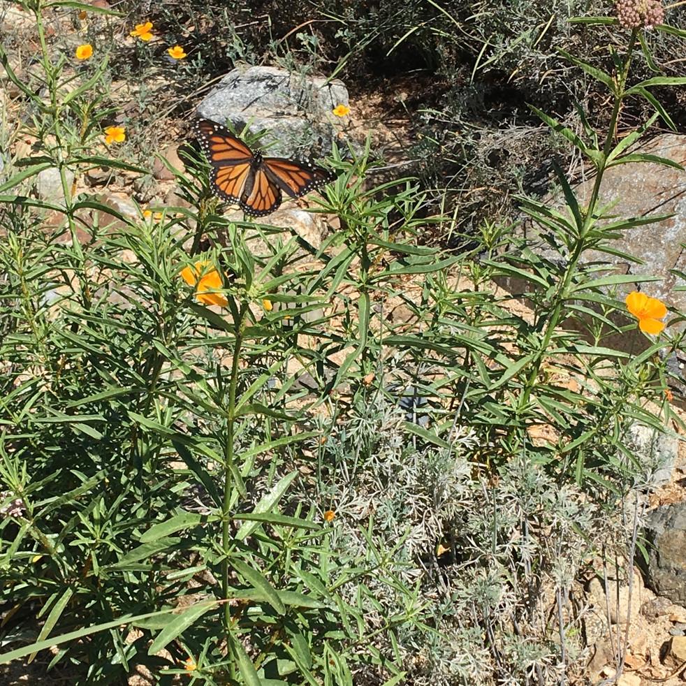 Monarch x Milkweed