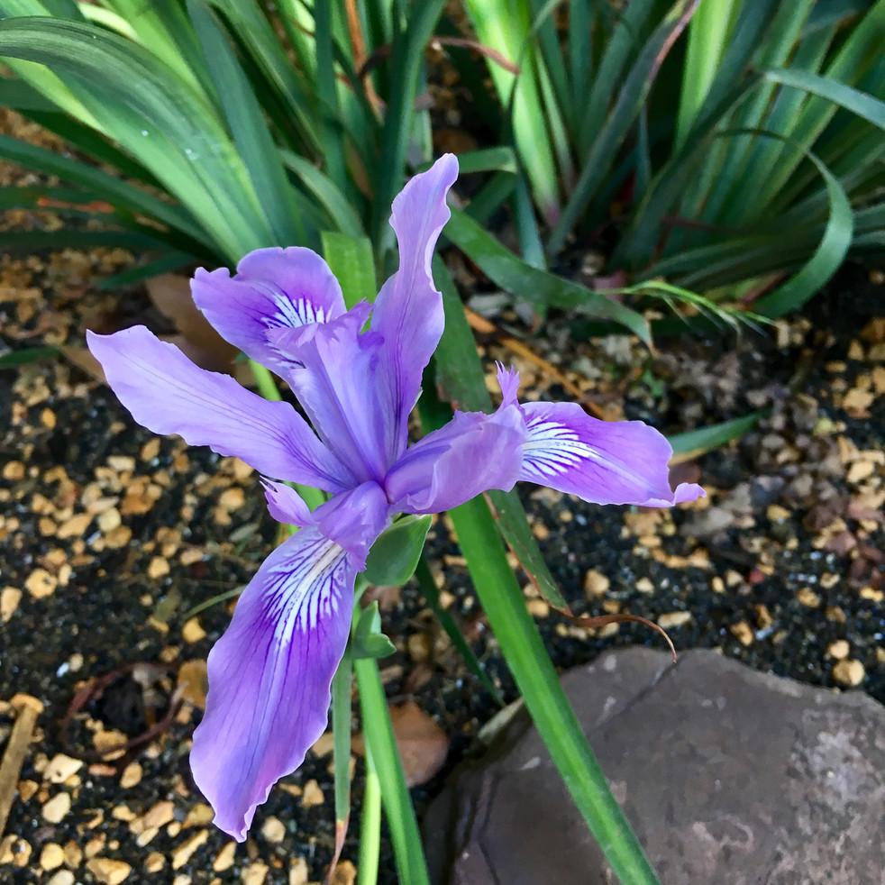 Douglas' Iris bloom