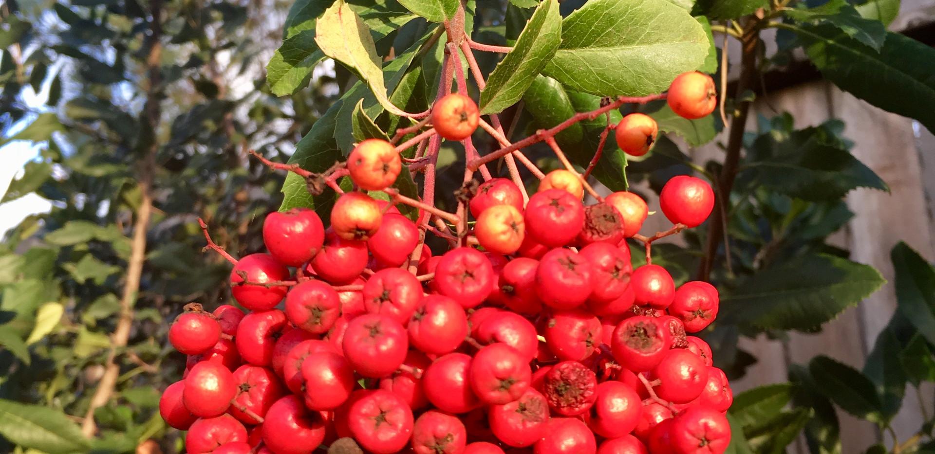 Toyon Berries.jpeg