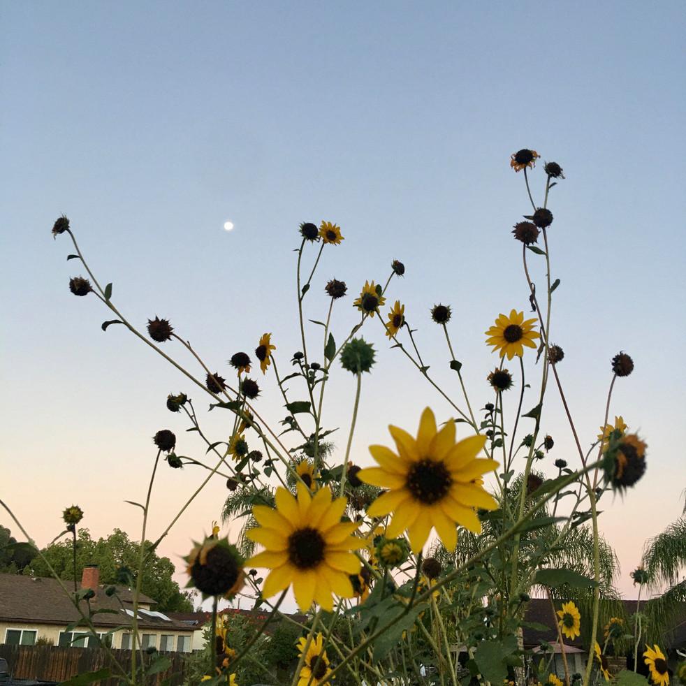 Moon x Sunflower